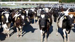 젖소의 출산율이 가장 높은 시기가