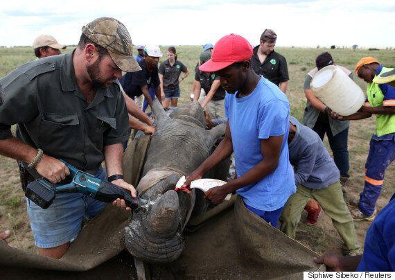 동물 보호 단체가 짐바브웨 코뿔소의 뿔을 자르는
