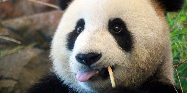 초절정 귀여운 이 동물이 26년 만에 '멸종위기종' 벗어난 데는 다 이유가