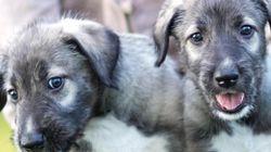 세계 최초 일란성 쌍둥이 강아지가