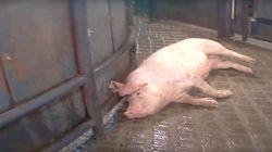 한강에 잘린 돼지 사체 30여구를 버린 사람을