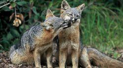 멸종 위기에 처한 이 여우는 어떻게 다시