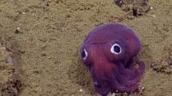 캘리포니아 연안에서 정말 귀여운 오징어가