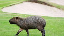 카피바라가 점령한 리우 올림픽 골프 코스는 흡사 동물원을