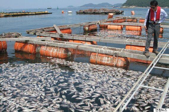 우럭·전복·넙치·돌돔 등 양식장 어패류가 집단폐사해 피해액이 300억을