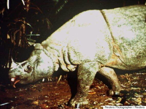 멸종직전 몰렸던 자바 코뿔소, 2년 연속 개체수