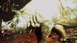 멸종위기의 자바 코뿔소 개체수가 2년 연속