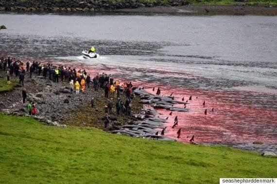 올해도 페로 섬 앞바다는 고래 수백 마리의 피로 빨갛게 변해버렸다(사진,
