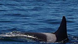 타이타닉보다 더 오래된 범고래가 다시 모습을