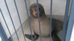 한 바다표범이 호주의 공공화장실에서 낮잠 자는 모습이