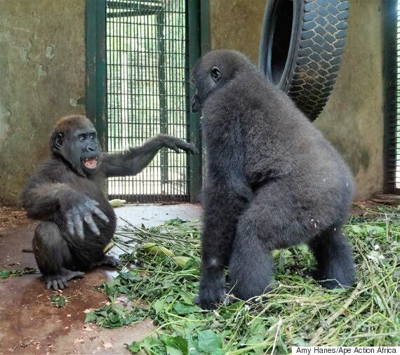 한 달 넘게 서로를 바라만 보던 어린 고릴라들이 드디어 실제로
