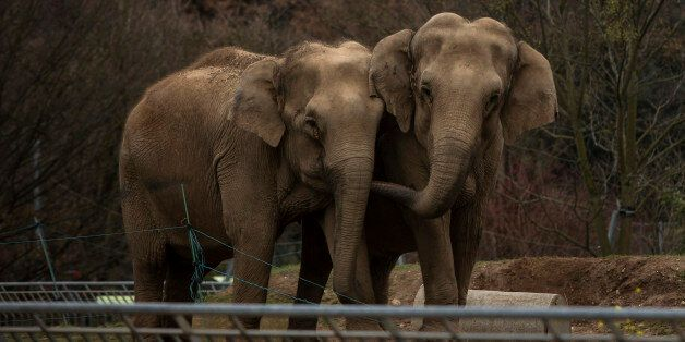Baby and Nepal, two elephants suffering from tuberculosis, stand in their enclosure at the Parc de la...