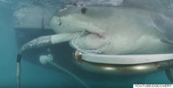 새끼를 밴 어미 상어에게 초음파 검사를