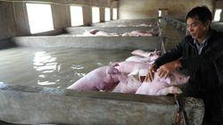 홍수로 물에 잠긴 돼지들을 본 중국 농부는 울고