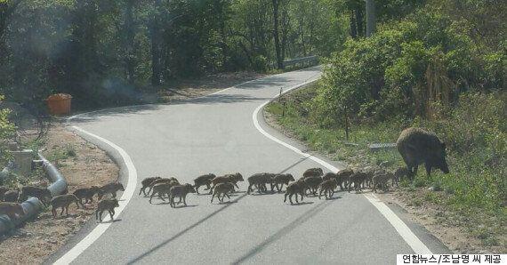 강원도 인제에서 포착된 멧돼지 대가족의 대이동(사진