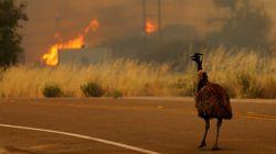 고향이 불타는 모습을 지켜보는 에뮤 사진은