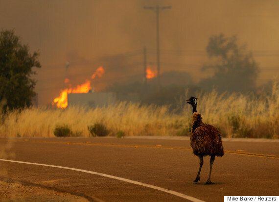 고향이 불타는 모습을 지켜보는 슬픈 에뮤 사진은 정말