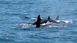 다도해해상국립공원에서 범고래 무리가