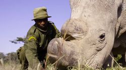 세상에 마지막 남은 북부 흰코뿔소를 지키는