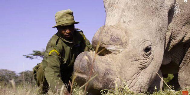 세상에 마지막 남은 북부 흰코뿔소 3마리를 지키는