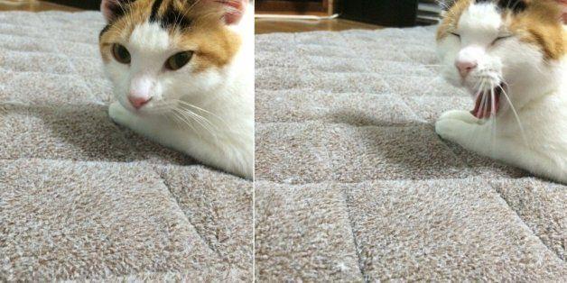 동거인이 만든 카레에 대한 고양이의