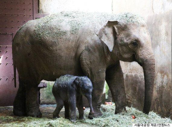 서울대공원에서 22년 만에 아기 코끼리가