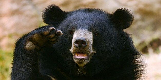 일본 아키타현에서 '식인곰'의 습격으로 4명이