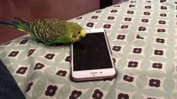 아이폰의 '시리'와 대화하는 앵무새