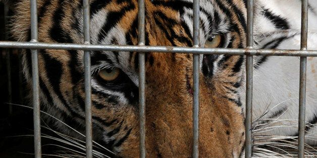 A tiger is seen in a cage as officials continue moving live tigers from the controversial Tiger Temple,...