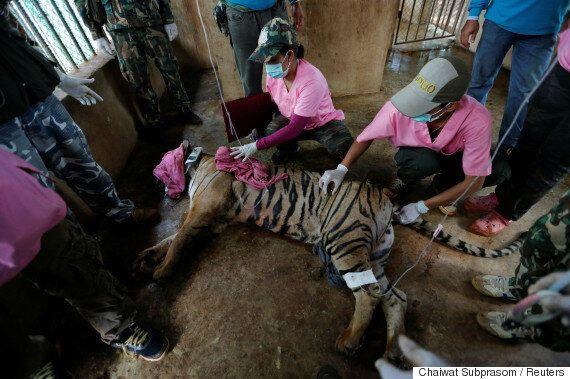 태국 경찰, '호랑이 무덤' 사원 수사