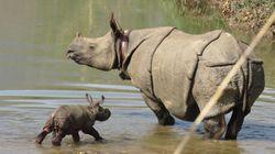 이 아기 코뿔소는 밀렵과의 전쟁에서 얻은