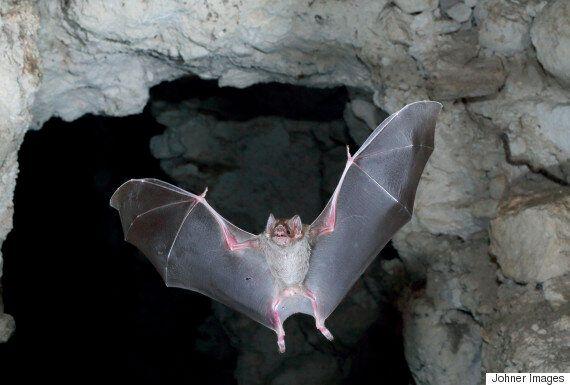 한국 박쥐에서 메르스·사스 유사 바이러스 첫