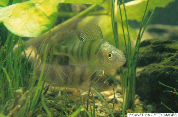 물고기들이 미세 플라스틱을 너무 즐겨 먹는 게 진짜