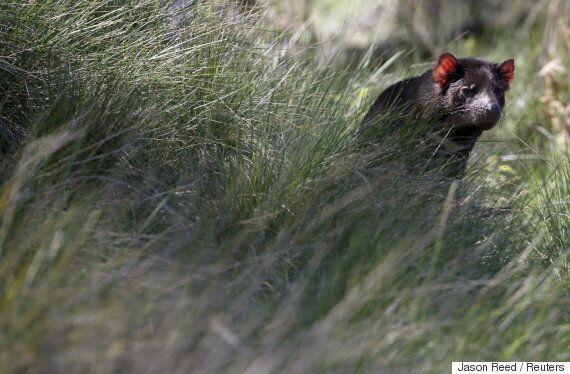 숨어있던 태즈매니안 데블(주머니곰) 군집이 이들의 멸종을 막을지도