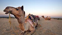 낙타가 종일 뙤약볕 아래 서 있게 만든 주인의 머리를 물어서 뜯어내