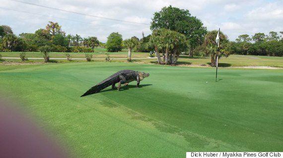골프장에 거대한 악어가