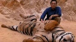 타이의 호랑이 사원이 호랑이를 길들였던 끔찍한