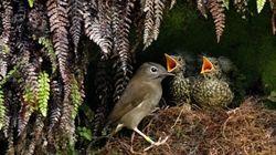 유전자 조작 모기가 멸종 위기 새들을