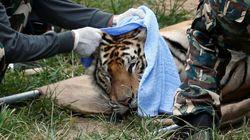 타이 호랑이 사원에서 호랑이들이 구조되던