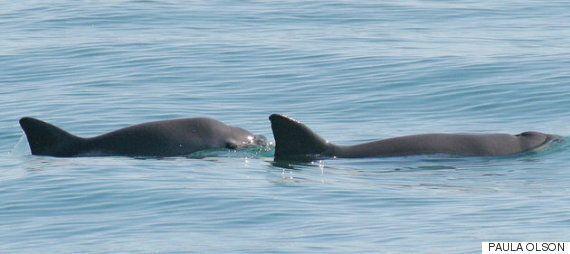 멸종을 앞둔 세계에서 가장 작은 쇠돌고래는 야생에 60마리 밖에 남지