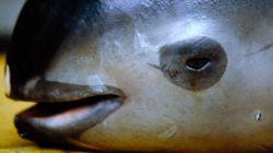 세계에서 가장 작은 돌고래는 60마리 밖에 남지