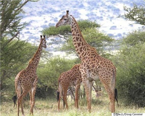 과학자들이 기린의 목이 길어진 이유를