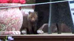 소백산 방사 여우, 야생에서 새끼 출산했다(사진
