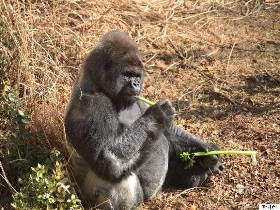 롤런드고릴라, 서울대공원에서 가장 '몸값'높은 동물