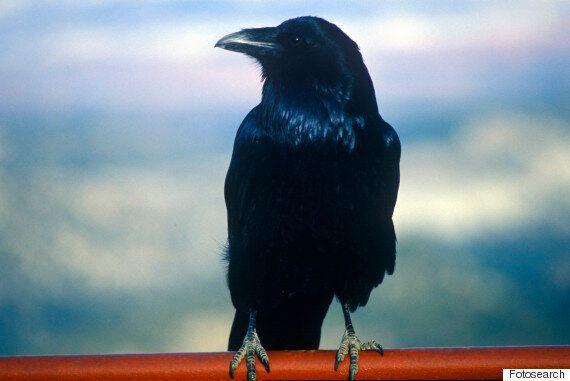 이 새들은 침팬지와 지능이 비슷할 수도