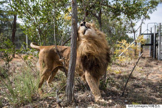 33마리의 서커스 사자들이 자연의 품으로