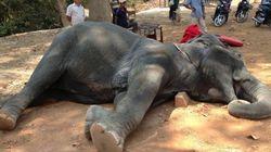 앙코르와트에서 관광객을 태우던 코끼리가 쓰러져 죽은