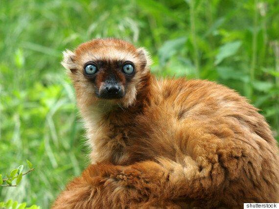 희귀하고 멸종위기에 처한 영장류 '여우원숭이' 진화의 미스터리가 마침내