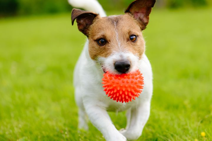 Portrait of Jack Russell Terrier with toy in mouth