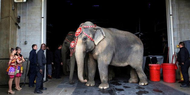 Performing elephants wait to appear in their final show for the Ringling Bros and Barnum & Bailey Circus...